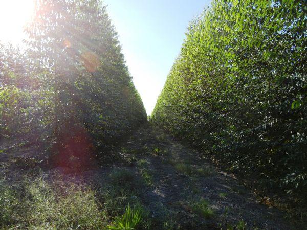 Madeira de Eucalipto